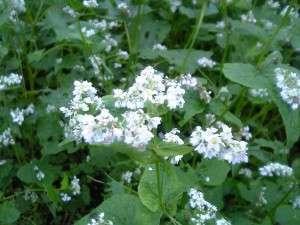 Buckwheat, Fagopyrum esculentum, in flower.