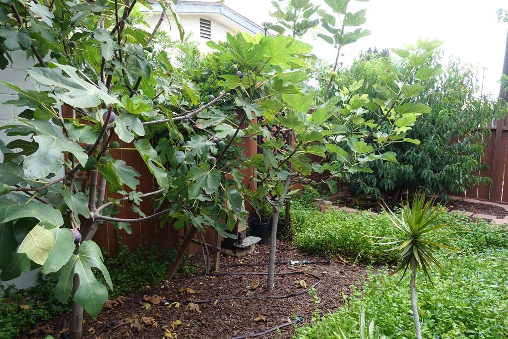 Low-water fruit trees in a drought-proof Southern California garden.