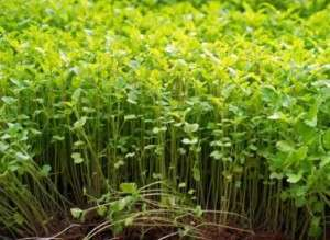 Young lush buckwheat green manure.