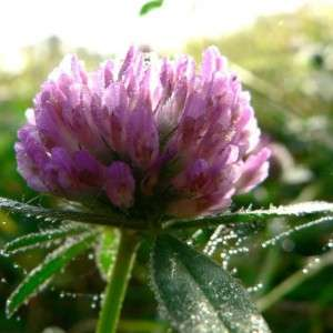 Red_clover_(1) (1)
