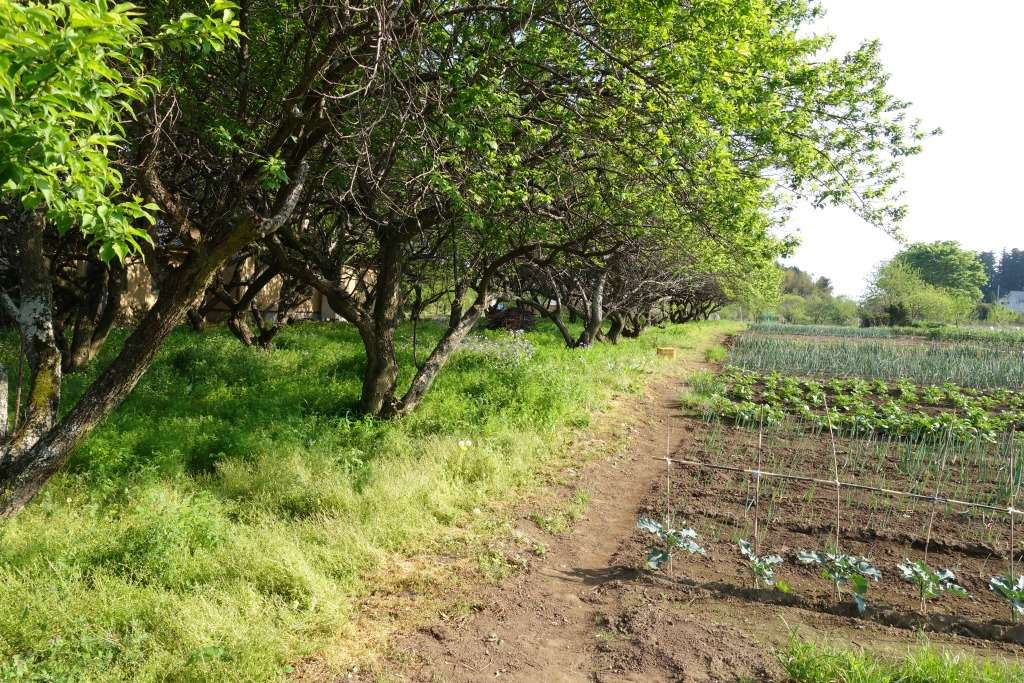 Orchard trees on the edge of a Japanese farm