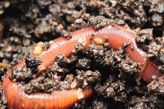 Soil builder worms